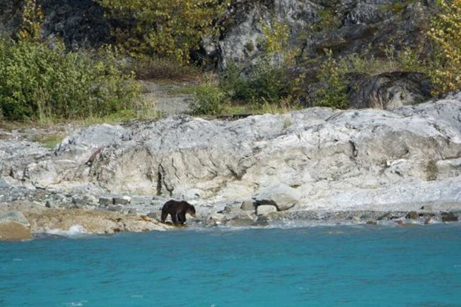 Black Bear on the coast at Glacier Bay