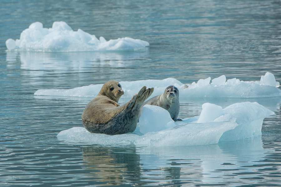 Glacier Bay seals