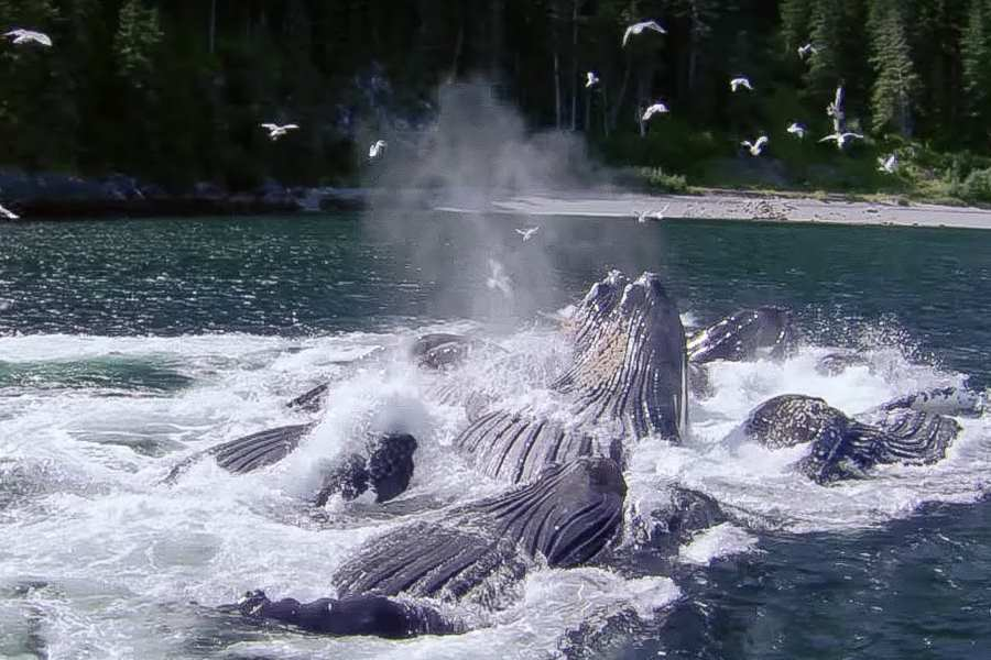 Whales bubble net fishing in Glacier Bay Alaska